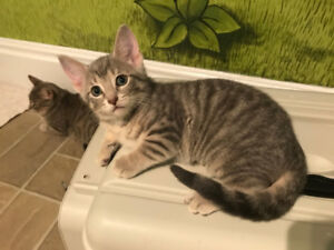Rescued Tabby Kitten and Mom - ALREADY SPAYED, VACC, CHIP, ETC.