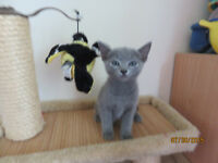 Russian Blue Male kitten able to be Registered TICA