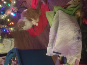 Lost orange and white long hair cat