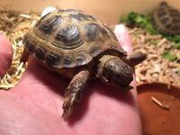 Tortoise- with full set up and delivery if needed