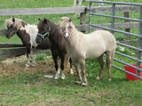 2 MINIATURE HORSE MARES-reduced prices