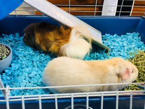 2 guinea pigs with supplies