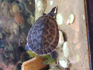 Pink belly side neck turtle
