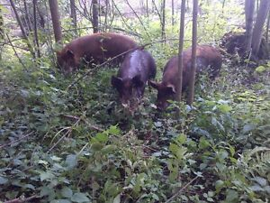 heritage weaner pigs, pigglets, sows, boar, and pigs $50+ Kitchener / Waterloo Kitchener Area image 2