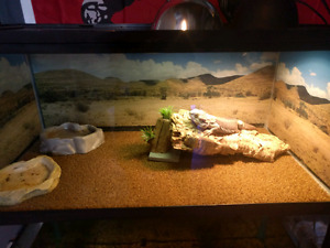 Bearded dragon and full setup