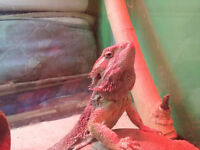 Female bearded dragon, comes with everything