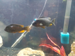 Wanted. Red fin borleyii females