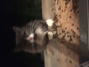 Grey and white cat Found
