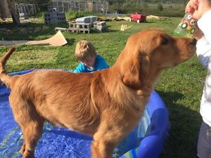 Dark Red Golden Retriever 1 Male and 1 female PUP