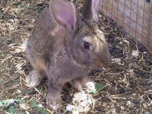 Flemish Giant X baby rabbits