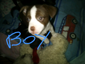 Chunky little cross breed pup