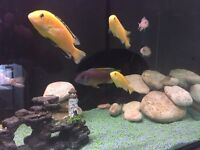 Full Cichlids set up, includes tank and accessories. No tank stand