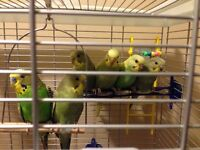 4 Budgies with Cage for Sale