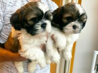 ⚠️READY TO GO⚠️ Shih Tzu Puppies for sale