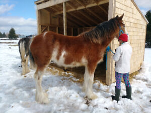 2  registered Clydesdale horses fillies for sale