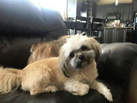 3 year old Male Havanese