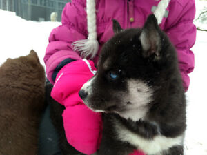 Siberian Husky Puppies - CKC Registered