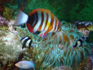 2 Saltwater Fish for sale