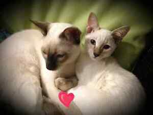 ❤❤Magnifiques Chatons  Siamois ❤Cute Siamese Kittens❤ ❤
