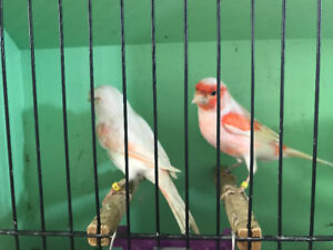 Canaries and new cages for sale