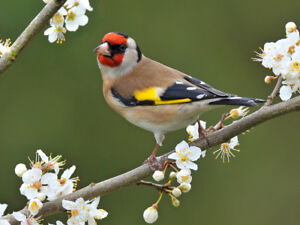 Looking for a pair of European Goldfinch