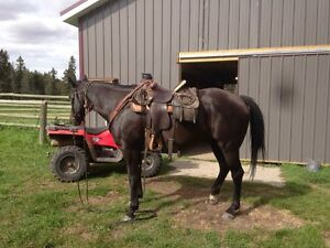 11 yr old papered gelding   Been used in pasture last 4 yrs
