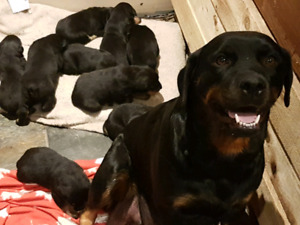 Rottweiler puppies looking for their new home