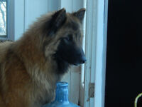 Fun Loving Female Tervuren - CKC registered