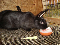 Black rabbit, female,  Giant mixed with French Lop