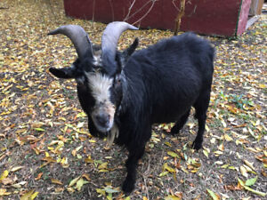 Pygmy Goat Buck For Sale