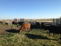 Red and Black Angus cross young cows