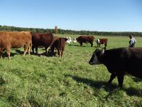 Bred beef  cows