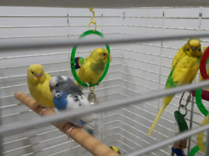 Four beautiful Budgies need new home ***sold***