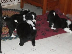 pure breed border collie pups