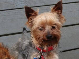 Yorkie- 5lbs male- UPDATE:  HE HAS BEEN FOUND
