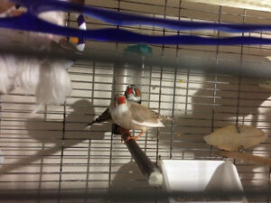 Breeding pair of Zebra Finch with Large Vision Cage & Stand