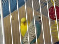 Two male budgies and cage