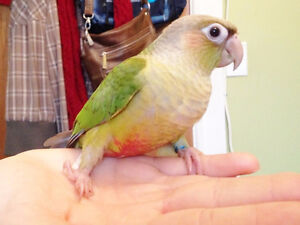 HAND FED GREEN CHEEK & PEARLY BABY CONURES