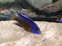 """F1 3"""" flametail peacock cichlid male"""