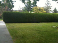 ALL EXTERIOR HEDGE &TREE SERVICE  250-212-1716  KELOWNA