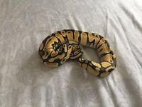 Yellow belly enchi female
