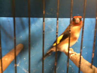 European gold finches and mules for sale