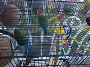 love birds pair