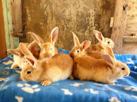 6 Beautiful Purebreed Flemish Giant Bunnies For Sale