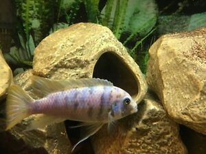 Male African cichlids