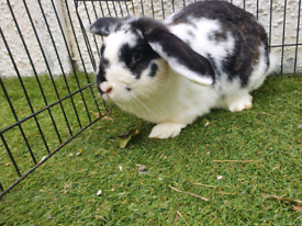 Loped ear rabbit, female, friendly and healthy