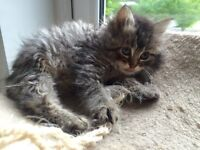 Ragdoll/Persian cross kittens