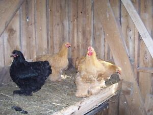 HERITAGE BREEDS OF PULLETS & YONGE ROOSTERS 9-10 MONTHS OLD,