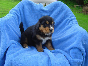 Bernese Mountain Dog -Golden Retriever Cross Puppies
