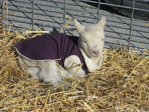 Mobile Petting Zoo for Birthdays/Seniors homes/Special events Peterborough Peterborough Area image 6